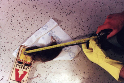 Tales from the rental front: rat invasions